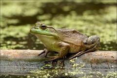 Bullfrog_6440-10