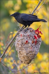 American_Crow_4807-14