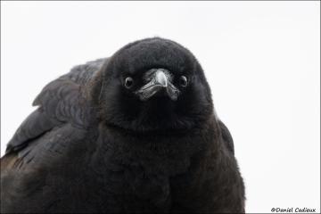 American_Crow_9914-14