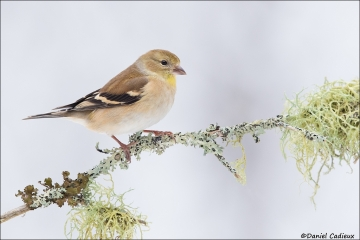 American_Goldfinch_0706-17
