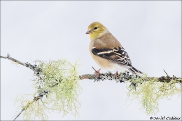 American_Goldfinch_0775-17