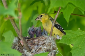 American_Goldfinch_5625-17