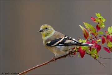 American_Goldfinch_6253-14
