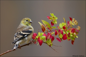 American_Goldfinch_6261-14