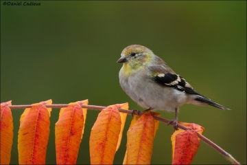 American_Goldfinch_6309-14