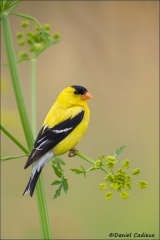American_Goldfinch_6716-13