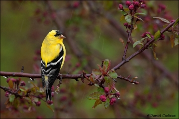 American_Goldfinch_7117-11