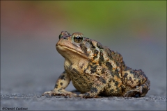 American Toad_9724-12