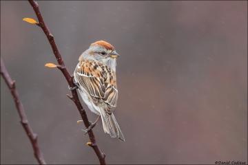 American Tree Sparrow_4493-18