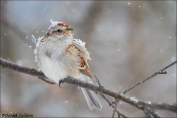 American_Tree_Sparrow_5726-15