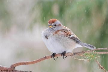 American_Tree_Sparrow_6408-16