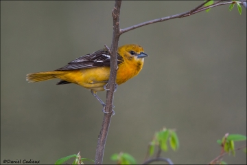 tn_Baltimore_Oriole_1239-1