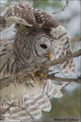 Barred_Owl_2127-17