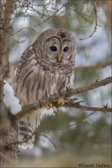 Barred_Owl_2148-17