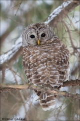 Barred_Owl_2319-17