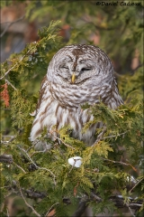 Barred_Owl_5310-15