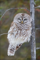Barred_Owl_5380-15