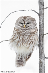 Barred_Owl_5398-15
