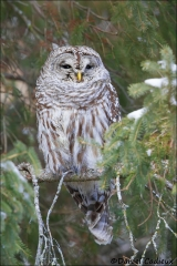 Barred_Owl_7267-15