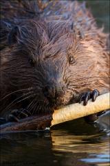 Beaver_4024-15