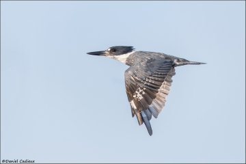 Belted_Kingfisher_2807-16