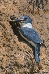 Belted_Kingfisher_4262-14