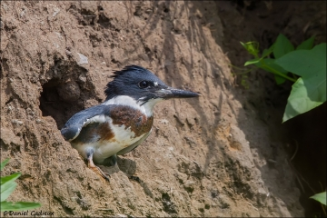 Belted_Kingfisher_6964-14