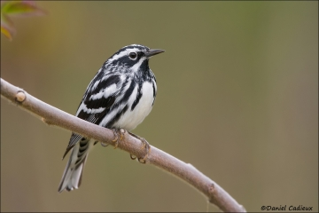Black-and-white_Warbler_6237-13