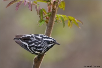 Black-and-white_Warbler_6246-13