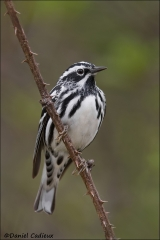 Black-and-white_Warbler_6275-13