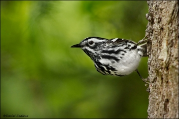 Black-and-white_Warbler_8380-11