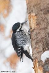 Black-backed_Woodpecker_2823-12