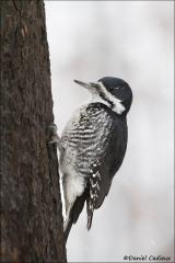 Black-backed_Woodpecker_2917-12
