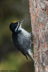 Black-backed_Woodpecker_4083-13