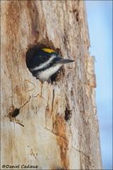 Black-backed_Woodpecker_4094-13