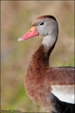 Black-bellied_Whistling-Duck_5119-11