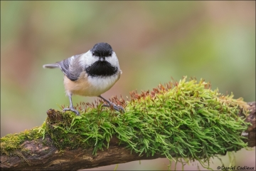 Black-capped Chickadee_2175-17