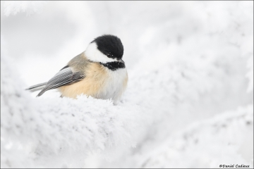 Black-capped Chickadee_4622-18