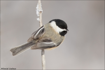 Black-capped Chickadee_5054-18