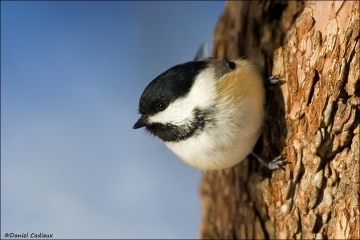 Black-capped_Chickadee_0033-08