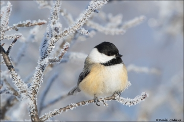 Black-capped_Chickadee_0321-17