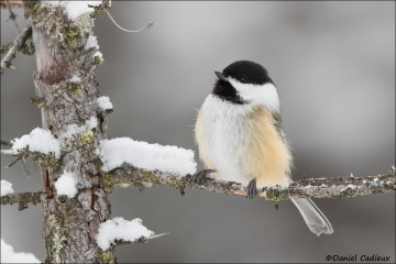 Black-capped_Chickadee_0898-17