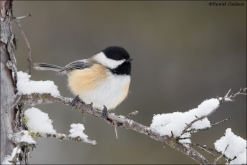 Black-capped_Chickadee_0908-17