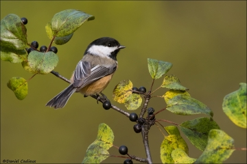 Black-capped_Chickadee_2024-16