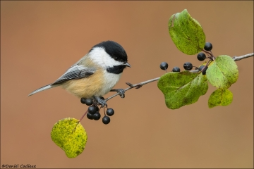 Black-capped_Chickadee_2388-16