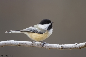 Black-capped_Chickadee_3797-15