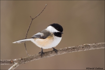 Black-capped_Chickadee_3814-13