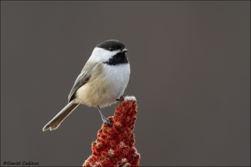 Black-capped_Chickadee_3882-15