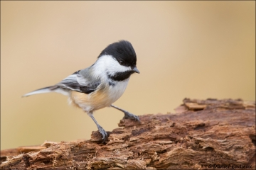 Black-capped_Chickadee_4414-15