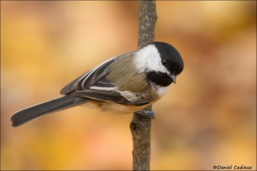 Black-capped_Chickadee_9128-12